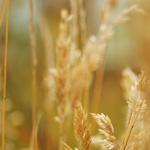 Nigelle cultivée (Nigella sativa)