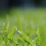 Huile essentielle d'hélichryse (Helichrysum gymnocephalum)