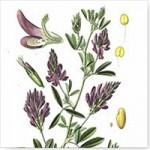 Alfalfa (Medicago sativa L.)