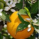 Bigaradier (Citrus aurantium)