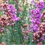 Bruyère (Calluna vulgaris)