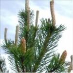 Bourgeon de Pin (Pinus sylvestris)