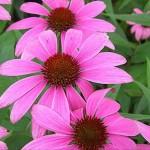 Echinacea (Echinacée)