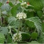 Marrube blanc (Marubium vulgare)