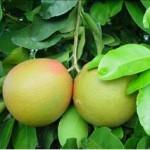 Pamplemousse (Citrus maxima)