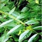 Frêne (Fraxinus excelcior)