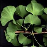 Ginkgo Biloba, l'arbre pharmacie avec des feuilles aux énormes bienfaits et peu d'effets secondaires !