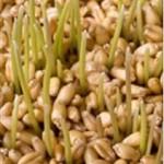 Huile de germe de blé (Triticum sativum)