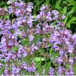 Sauge (Salvia lavandulifolia)