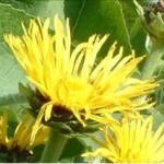 Huile essentielle d'inula (Inula helenium)