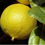 Les astuces coupe-faim de l'Huile essentielle de bergamote