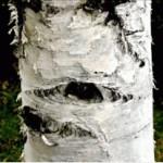 Huile essentielle de bouleau blanc (Betula Alba)
