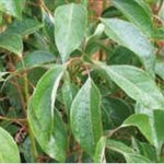 Huile essentielle de cannelle de Ceylan (Cinamomum zeylanicum)