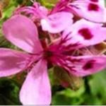 Huile essentielle de géranium vrai (Geranium macrorrhizum)