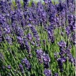 Huile essentielle de lavande (Lavandula angustifolia)