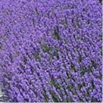 Huile essentielle de lavande aspic et à toupet (lavanula latifolia)