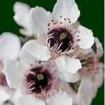 Huile essentielle de manuka (Leptospermum scoparium)