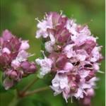 Huile essentielle de marjolaine (Origanum majorana)