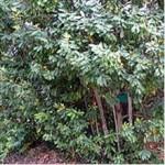 Huile essentielle de may chang (Litsea cubeba)