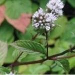 Huile essentielle de menthe poivrée (Mentha x piperita)
