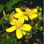 Huile essentielle de millepertuis (hypericum perforatum)