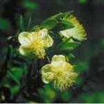 Huile essentielle de myrrhe (Commiphora myrrha)