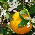 Huile essentielle de néroli (citrus aurantium)