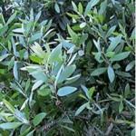 Huile essentielle de niaouli (Melaleuca quinquenervia)