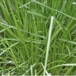 Huile essentielle de palmarosa (Cymbopogon martinii)