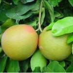 Huile essentielle de pamplemousse (Citrus maxima)