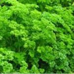 Huile essentielle de persil (Petroselinum crispum)