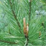 Huile essentielle de pin sylvestre (Pinus sylvestris)