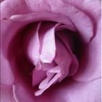 Huile essentielle de rose (rosa damascena)