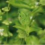 Huile essentielle de verveine citronnée (aloiysia citrodora)