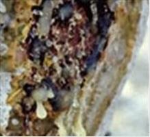 Huile essentielle d'encens ou oliban