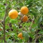 Huile essentielle d'orange (Citrus cinensus)