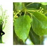 Huile essentielle de ravintsara (Cinnamomum camphora)