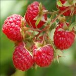 Huile de Framboise (Rubus idaeus)