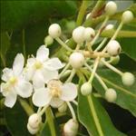 Huile de Calophylle Inophyle (Calophyllum inophyllum)