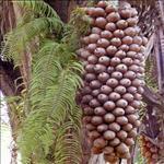 Huile de Babassu (Orbignya phalerata)