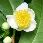 Huile de Camélia (Camellia sinensis)