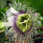 Huile de Fruits de la passion (Passiflora edulis)