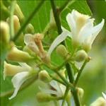 Huile de Neem (Azadirachta indica)