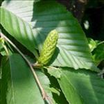 Huile essentielle de Bouleau noir (Betula nigra)