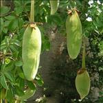 Huile de Baobab (Adansonia Digitata)