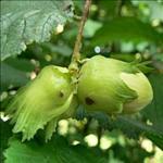 Huile de Noisette (Corylus avellana)