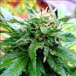 Huile de Chanvre (Cannabis sativa)