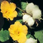 Huile de Coton (Gossypium)
