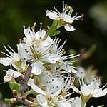 Huile de Prune (Prunus Domestica)