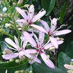 Huile de Yangu (Calodendrum capense)
